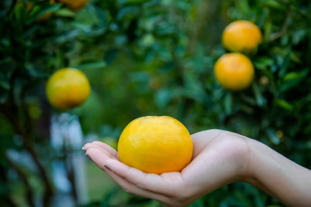 Plod mandarine