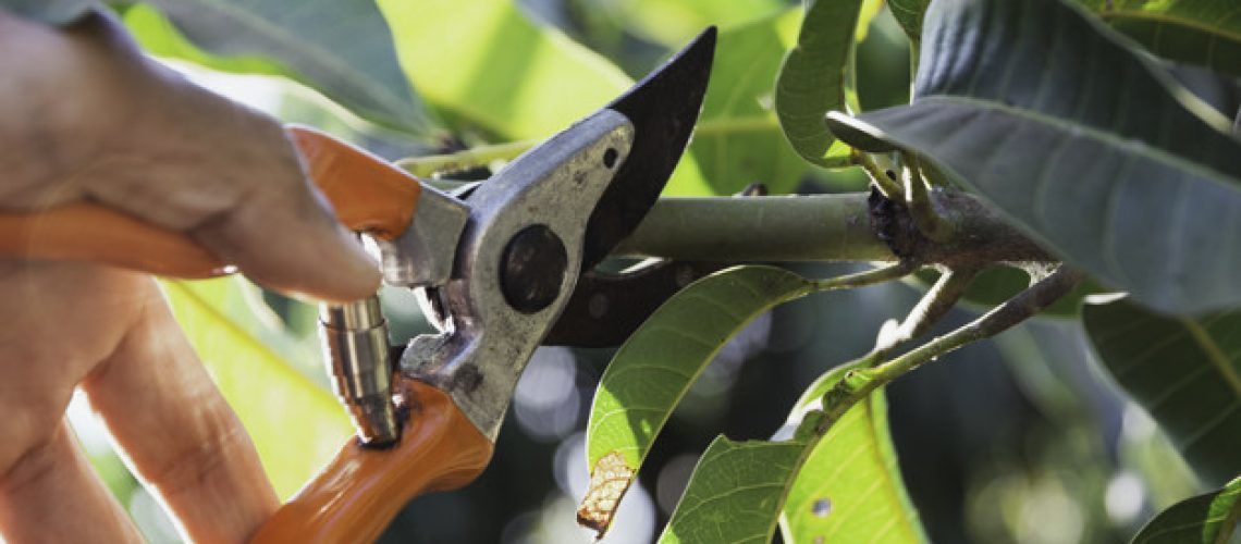 Hand of Gardener pruning trees with pruning shears.
